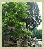 皇居の血脈をひく秘木「楓樹」