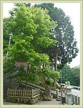 日光東照宮より奉納された由緒正しい楓樹