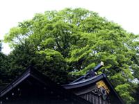 楓樹【夏】