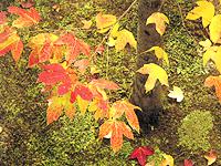 楓樹【秋】